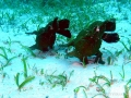 frogfish-dancing3